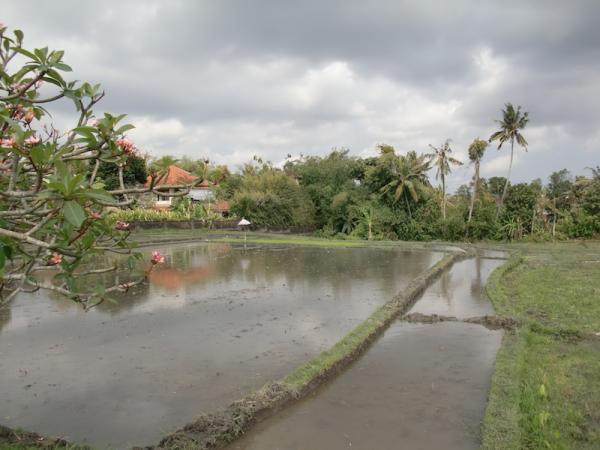 The rice fields plot