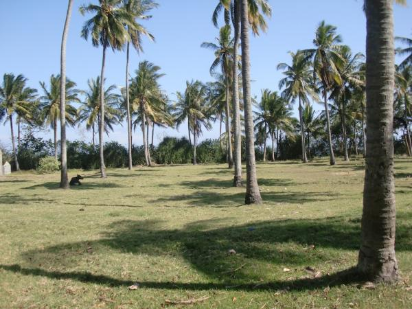 Flat & undulating coconut grove